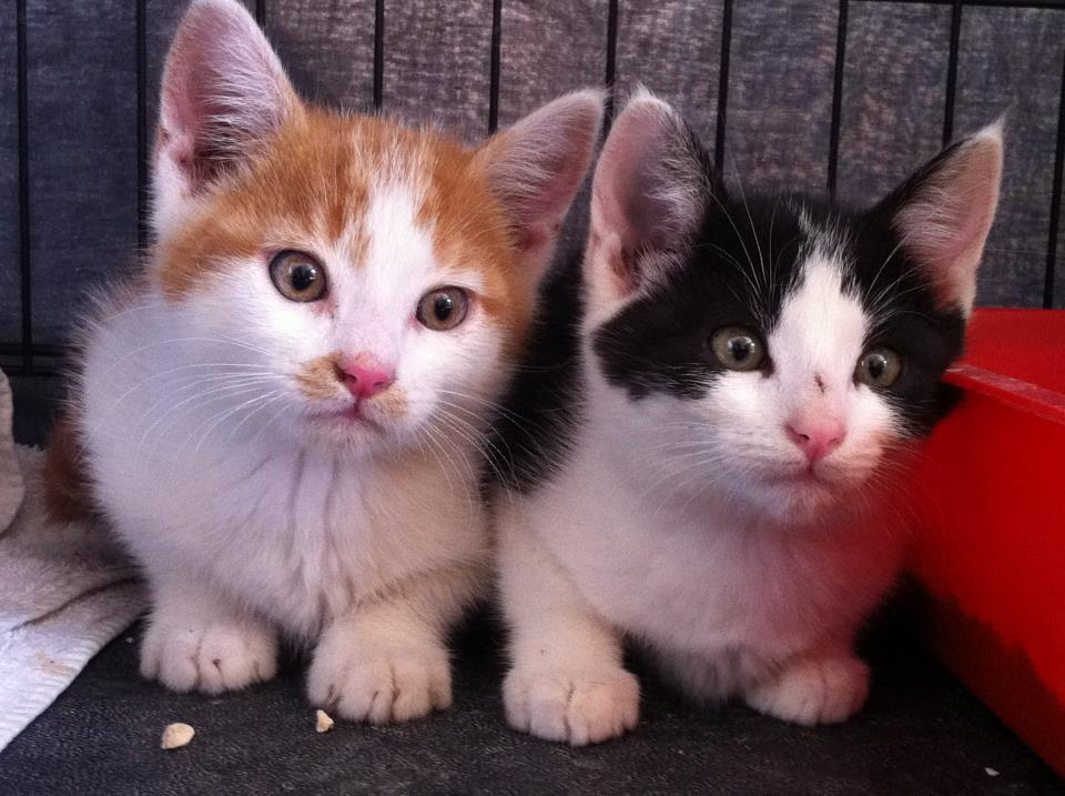How Do Cats Have Twin Kittens